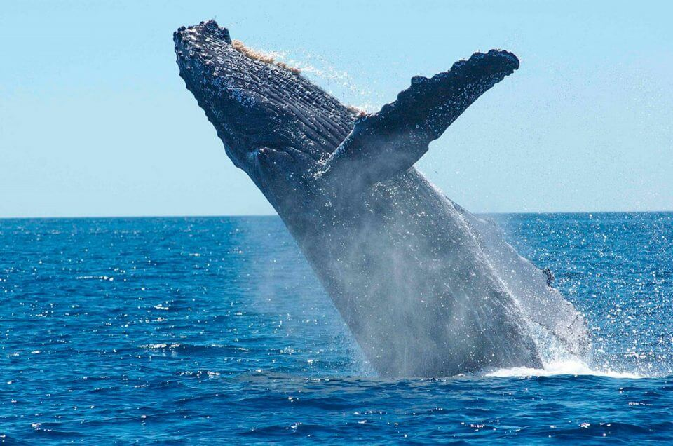 Humpback Whale Watching in Panama